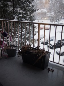 Na donicy siedzi nasz zwierzak domowy. Dokarmiamy ptaki zimą i efekt jest taki, że stołuje się u nas tylko jeden. Gruby już jak krowa, wrzeszczący odstraszający wszystkie inne ptaki, cwaniak, który skoro świt puka w szybkę i zamawia kolejną porcję. Skubaniec nie odfruwa nawet gdy wychodzę na balkon. ;)